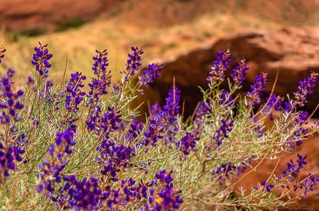 Beautiful flowers in Coyote Gulch - Backpacking Coyote Gulch in Grand Staircase Escalante