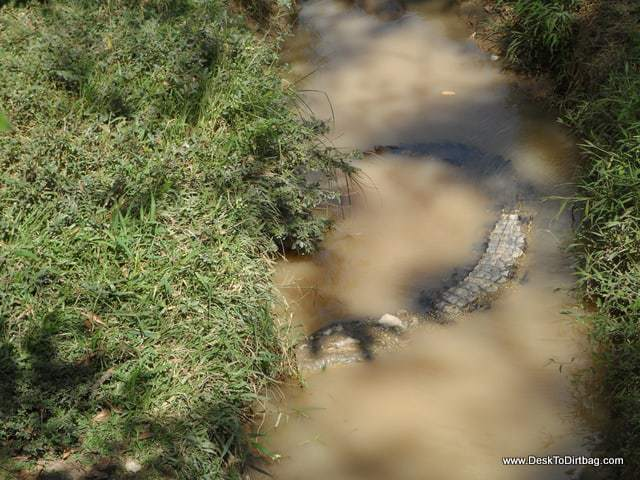 A crocodile lurks below.
