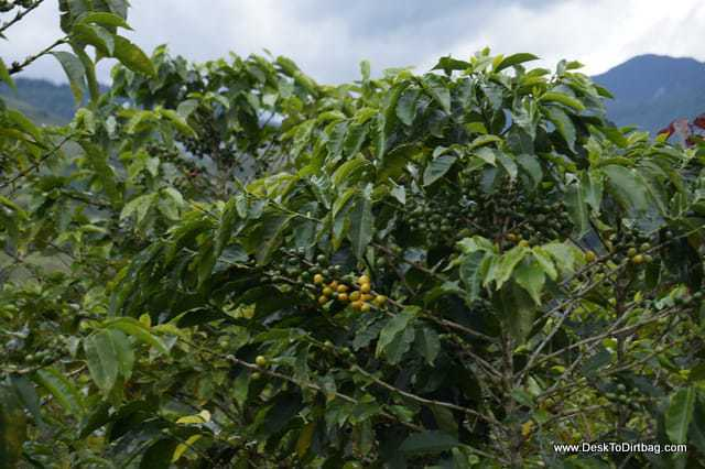 Lots of coffee plants all over the place.