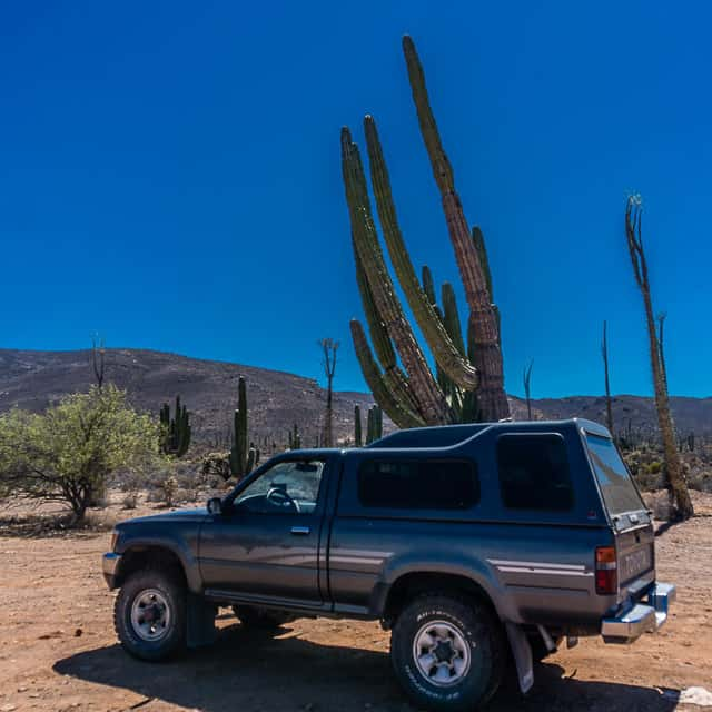Big cactus in Baja California