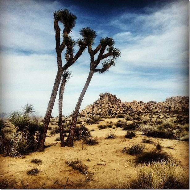 The iconic Joshua Trees in Joshua Tree National Park
