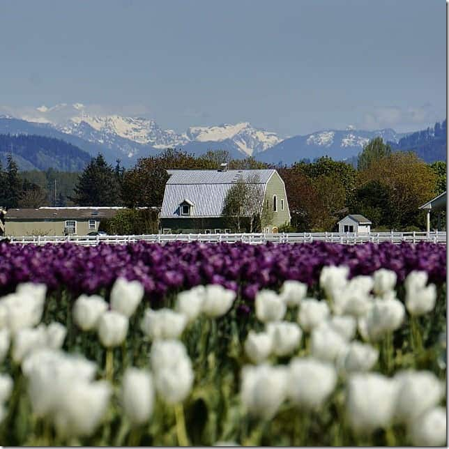 Check out the Skagit Valley Tulip Festival - 49 Places to Visit on the Ultimate West Coast Road Trip
