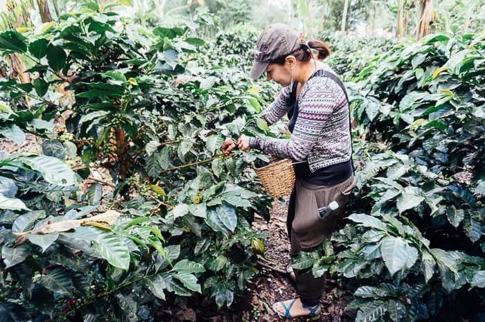 Picking coffee beans on a plantation tour - 8 Best Medellin Tours for Visitors