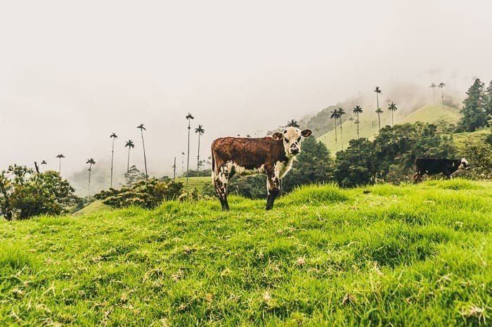 A cow in Cocora Valley near Salento, Colombia