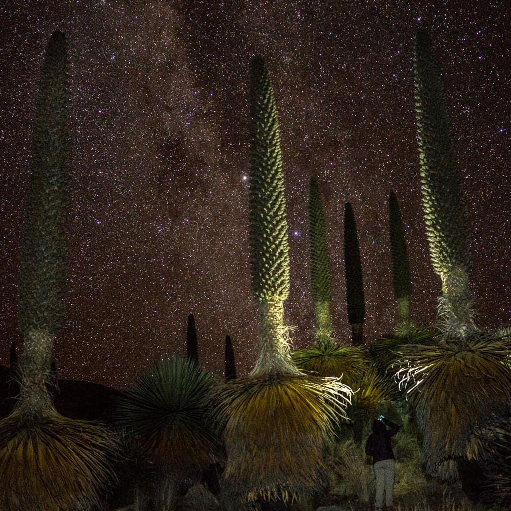Puya Raimondi Plant Peru