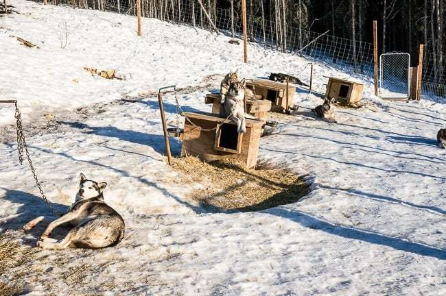 Alaska Dog Sledding Sirius Sled Dogs