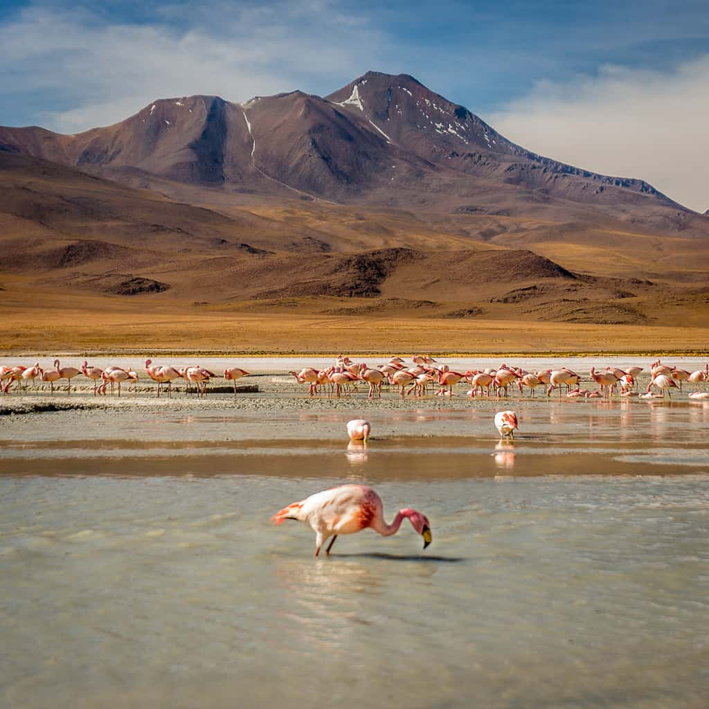 Wild flamingos at 14,000 feet in Bolivia