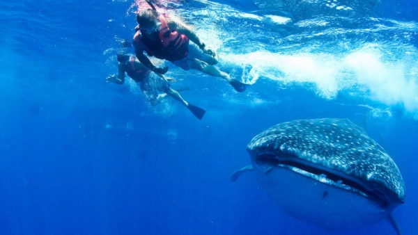 best cancun tours swim with whale sharks