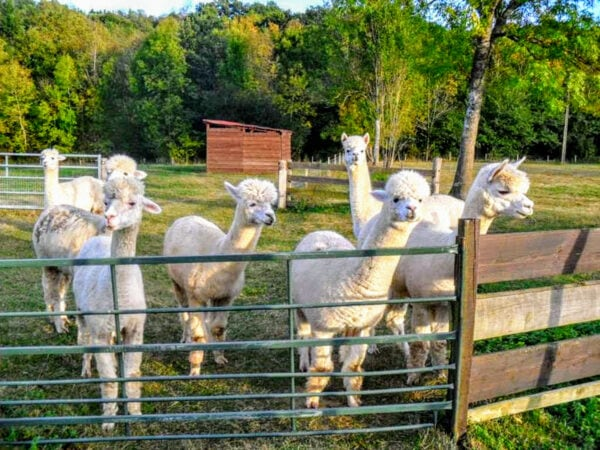 volunteering abroad france alpaca house sitting France