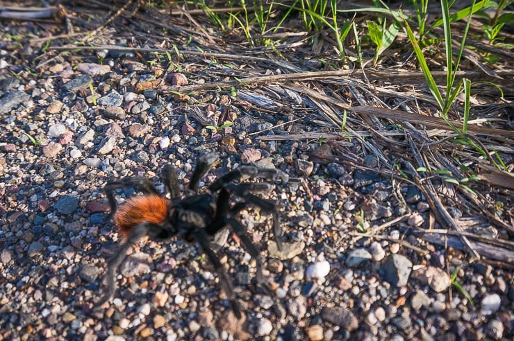 Is Belize Safe? There are definitely some dangerous wildlife, although this big tarantula isn't a major threat.
